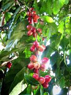 planta de cafe, aroma de chiapas