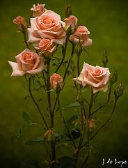 las rosas en el paraiso